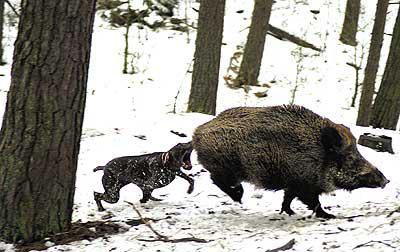 собаки охота